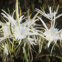 Lothrop's Landscape popularized the Spring Spider Lily by bringing it to the area from divisions cultivated from a garden in Flower Mound.